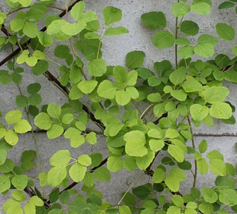 Coprire pareti con piante Utilizzare piante rampicanti sul muri