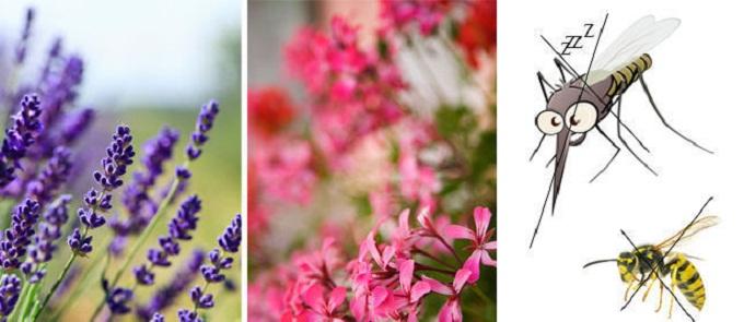 Piante contro le zanzare 5 piante contro le zanzare - Contro le zanzare in giardino ...