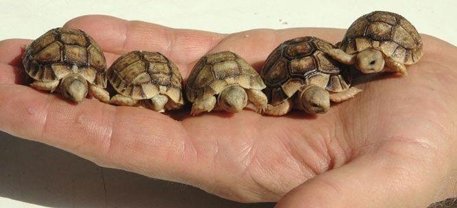 Acqua terrario per le tartarughe allevare le tartarughe d for Tartarughe di acqua dolce