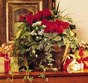 Stella Di Natale In Casa.Stella Di Natale Da Curare In Casa